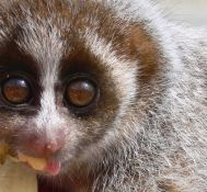eG Live – Slow Loris Goes to School
